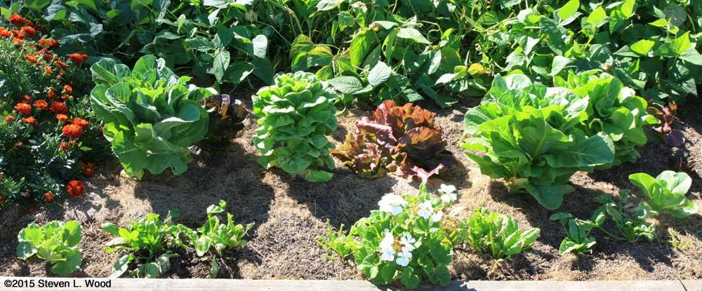 Mature Lettuce