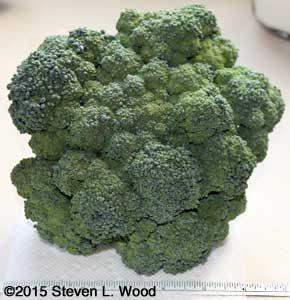 Premium Crop Broccoli