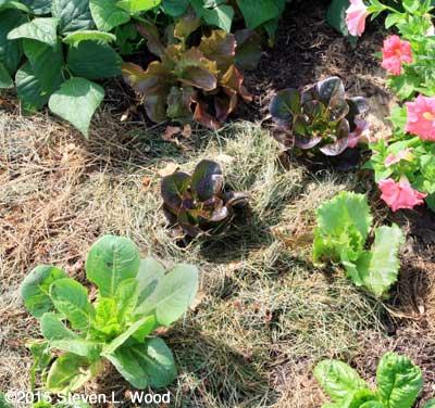 September 13 lettuce planting