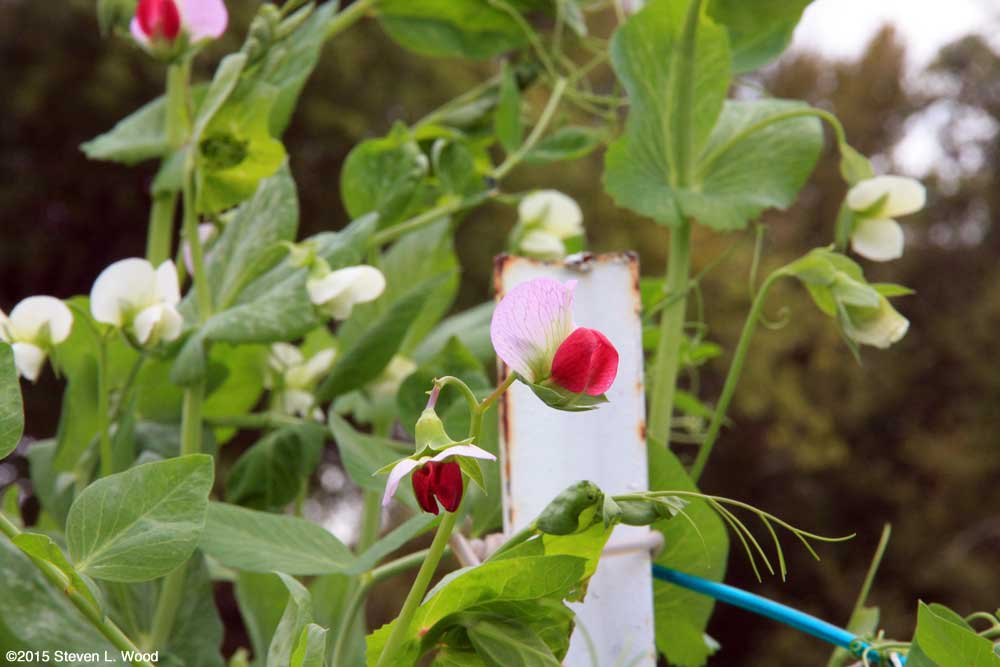 Red pea blossoms amongst white Sugar Snap blooms