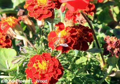 Honeybee on Marigolds