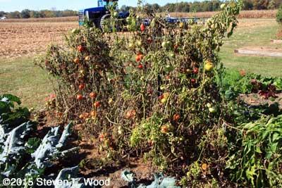 Spent tomato plants