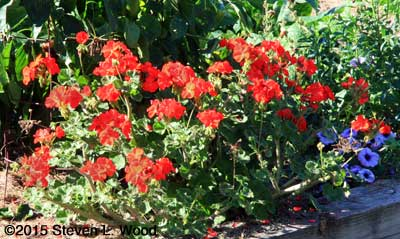 Maverick Red Geranium in Full Bloom in October