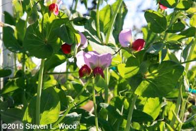 More redish pea blossoms amongst Sugar Snap peas