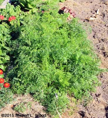Short (6') Double Row of Fall Carrots