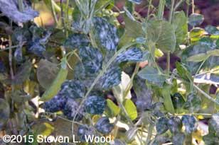 Severe powdery mildew infection