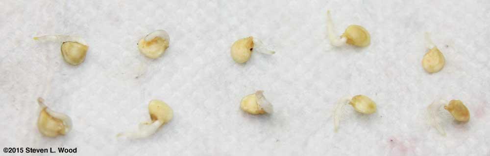 Succesful germination test