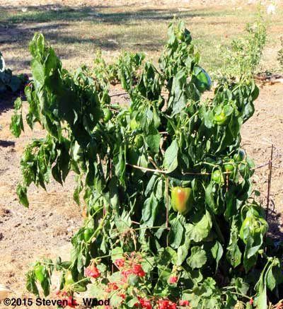 Droopy pepper plant after frost