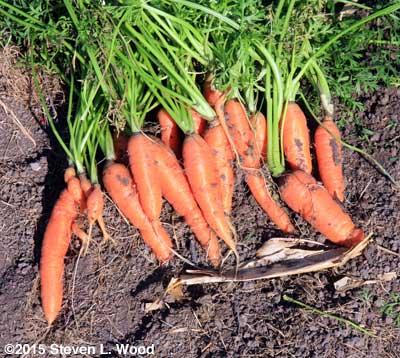 Freshly dug Bolero carrots