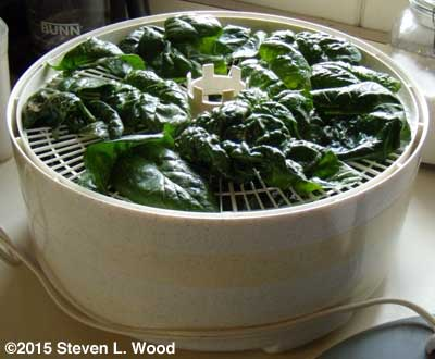 Spinach oiled and salted on dehydrator tray