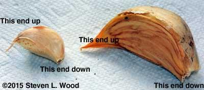 Garlic cloves - up, down