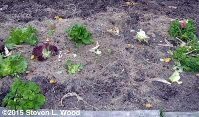 Decimated lettuce patch