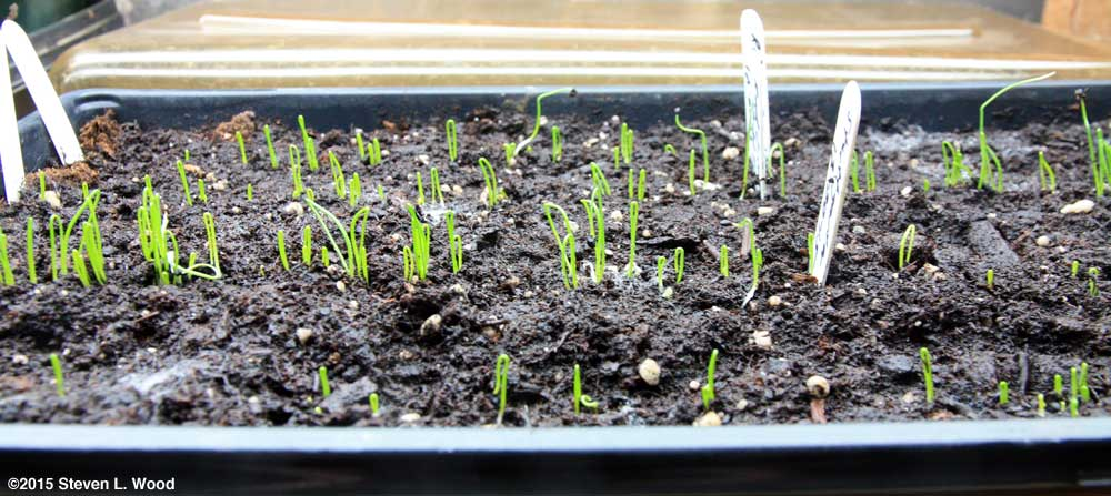 Onion plants emerging