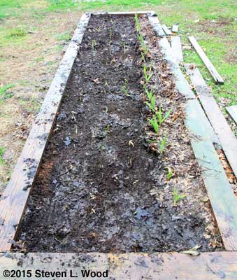 Standard garlic revealed with mulch raked off