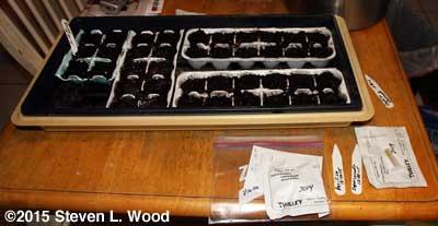 Seeding petunias and vinca in egg cartons