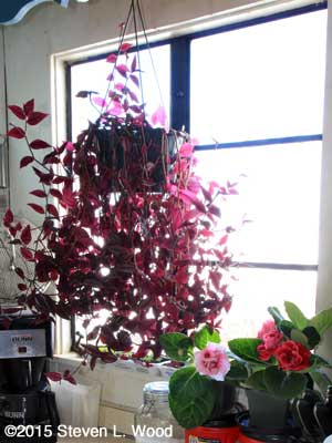 Wandering Jew, petunias, and gloxinias in kitchen window