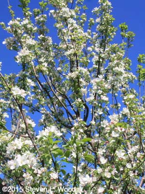 Granny Smith apple tree in full bloom