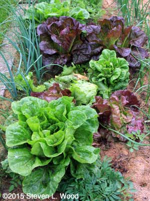 The best lettuce crop we've grown