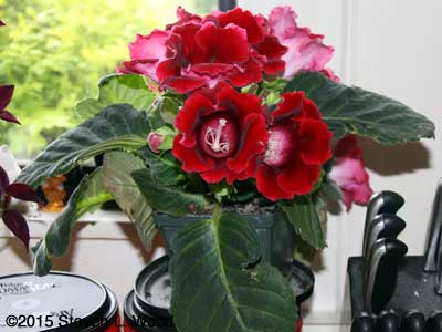 Cranberry Tiger Gloxinia