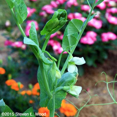Sugar Snap pea blooms