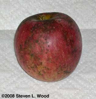Sooty mold on Stayman Winesap apple