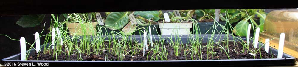 Baby onion plants under lights