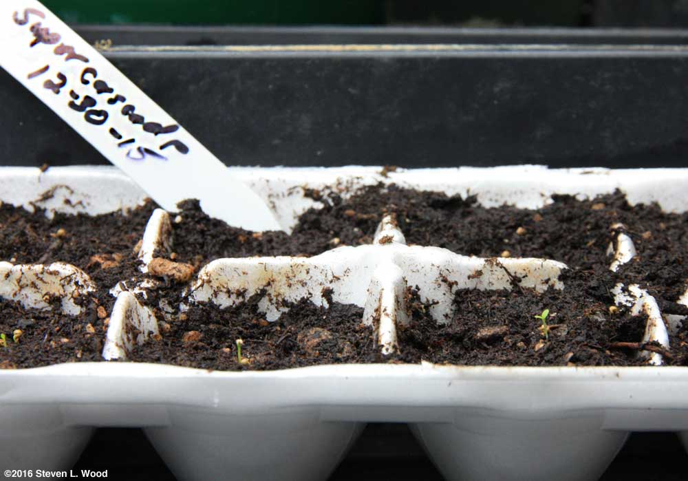 Petunias germinating in egg cartons