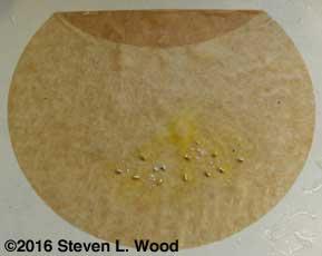 Geranium seed on moist coffee filter