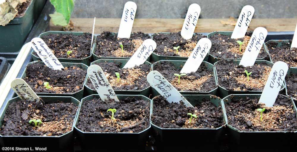 Baby geranium plants