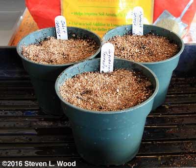 Communal pots of geranium seed