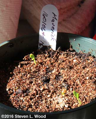 Late germinating geranium seed