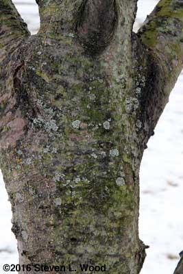 A few lichens on the Granny Smith