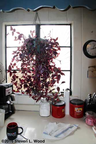 Wandering jew plant before trimming