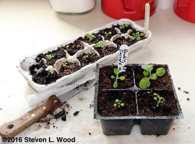 Repotting petunias