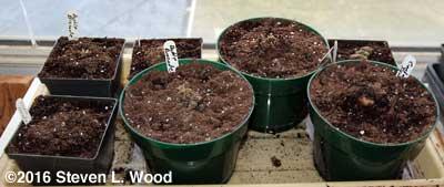 Seven gloxinia corms in pots that broke dormancy