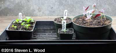 Odd tray of petunias, vinca, ivy leaf geranium, and rooting wandering jew
