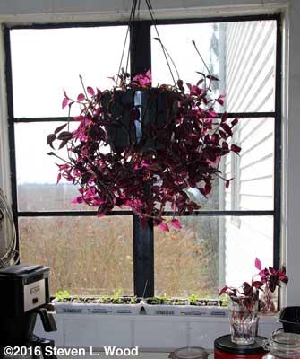 Petunias and wandering jew in kitchen window