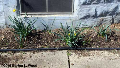A few daffodils