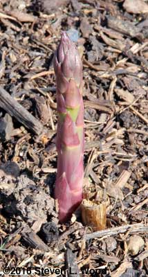 First asparagus shoot from our patch