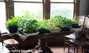 Trays of transplants on dining room table
