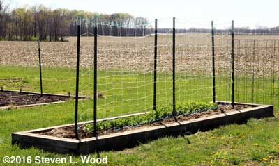 Early Peas Trellised