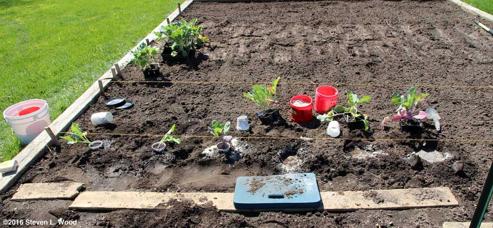 Planting cauliflower