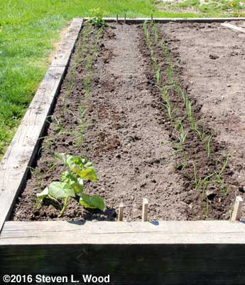 Onions and carrots planted