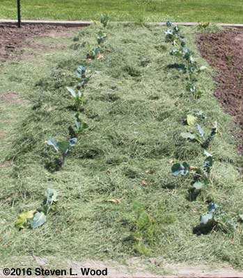 Brassicas mulched
