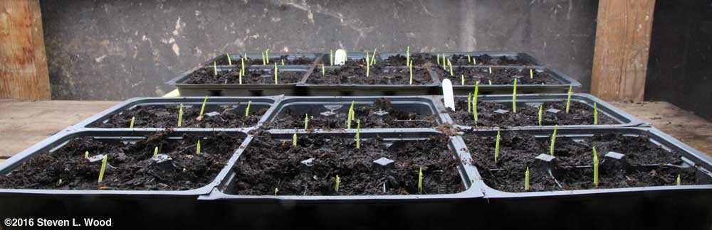 Sweet corn transplants
