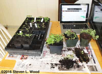 Transplanting marigolds and snapdragons
