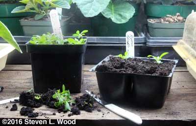 Transplanting alyssum