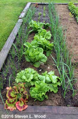 Onions, lettuce, (and carrots in background)