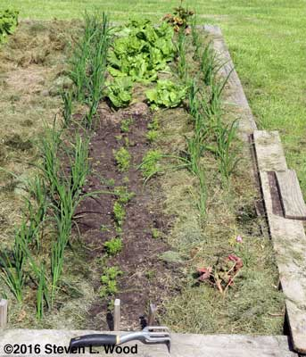 Onion, lettuce and carrot softbed