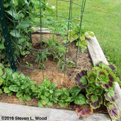 Healthy Moira tomato plant